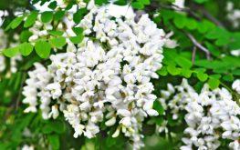 fiore-di-robinia